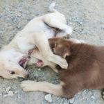 タイのバンコクにいる、じゃれ合う犬たち
